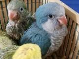 出售和尚幼鳥 金太陽 越南鷯哥 亞歷山大 吸蜜 玄鳳鸚鵡
