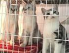 广州买银渐层到哪里好 紫藤猫阁 家庭式繁殖
