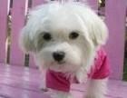 高品质马尔济斯幼犬,国外引进优良种犬,签合同包健康