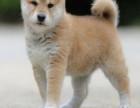 哪里有柴犬卖柴犬多少钱柴犬的图片
