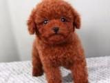 重庆出售精品繁殖泰迪幼犬 纯种泰迪血统纯正 健康有保证