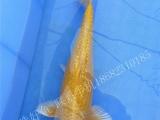 中山别墅假山鱼池鱼缸锦鲤观赏鱼红白大正昭和白写