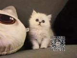 丽水出售纯种金吉拉猫自家繁殖,品质保证,健康纯种