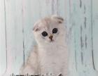上海猫舍出售美短加白 美短虎斑 加菲猫 蓝猫 渐层