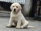 中国专业繁殖双血统拉布拉多犬舍 可以上门挑选