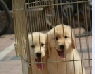 自家狗狗繁殖纯种黄色金毛宝宝 品相好血统纯正