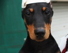 cku注册五星级犬舍 双血统杜宾犬可上门挑选