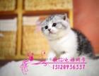 苏格兰折耳猫 金吉拉猫 金渐层 暹罗猫幼猫(包纯种健康)