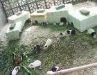 个人养的印度荷兰猪