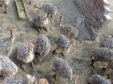 岳阳鸵鸟养殖 品种好 价格低