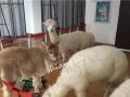 浙江宁波羊驼租赁 杭州羊驼出租 展示出租羊驼
