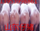 山东仔猪苗猪供应市场