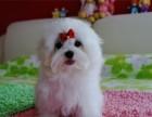 南昌哪有马尔济斯犬卖 南昌马尔济斯犬价格 马尔济斯犬多少钱