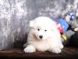 高品质萨摩耶幼犬出售了 保纯种 健康 可签协议