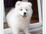 微笑天使,萨摩耶犬,大眼睛,长睫毛,亮瞎路人的