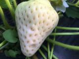 供应商推出白草莓苗新品种