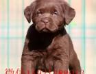 神犬小七 拉布拉多犬,忠诚,勇敢,活泼可爱