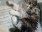 自家低价出售长毛加菲猫