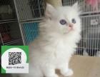 济南哪里有布偶猫出售 济南布偶猫价格 济南宠物猫转让出售