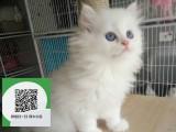 南阳哪里有布偶猫出售 南阳布偶猫价格 布偶猫多少钱