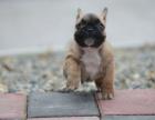 cku注册五星级犬舍 双血统英国斗牛犬可上门挑选