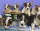 石家庄本地犬舍繁殖精品,纯种幼犬比格比熊柯基犬,等几十种品种