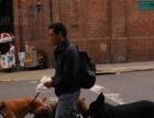 职业遛狗人,满足您爱宠的运动需要