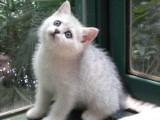 傲娇萌猫纯种银渐层猫 美短渐层蓝白折耳宠物猫活体幼体