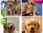 纯种金毛幼犬出售 品相端正 签协议 保健康
