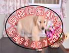 中国较大繁殖基地 出售健康纯种金毛犬 签协议