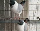 眼睛球 俄罗斯 点子 彩背 麻背 淑女等观赏鸽出售