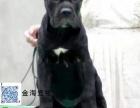 出售纯种猛犬看家卡斯罗疫苗驱虫已做齐全包健康签协议