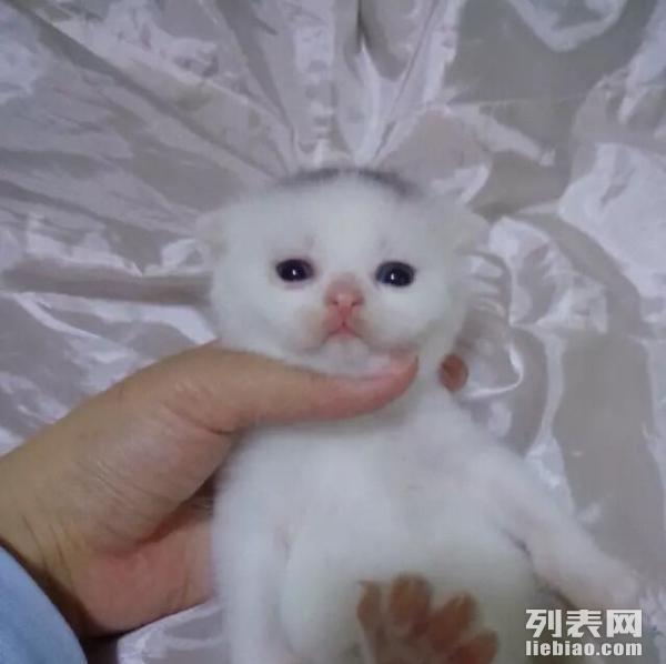 苏格兰折耳猫 折耳猫 白色 妹妹