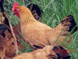 合肥家禽批发哪家好-供应江苏优惠的温氏生鲜熟食
