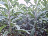 大五星枇杷苗,云南哪里有卖果树苗,枇杷种植时间
