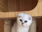 正规猫舍售高品质纯血统 渐层猫 签署质保 质保三年