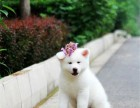 忠诚可靠的漂亮秋田犬,疫苗齐全品相好保证纯种健康