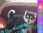 基地实物拍摄—精品熊版 阿拉保纯种——微信视频看狗