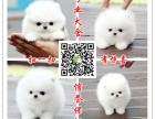 养殖场出售小型犬 博美 泰迪 比熊 吉娃娃 巴哥犬包纯种