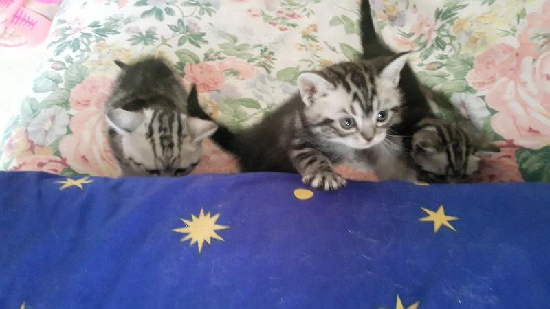 自家繁殖的纯种美短银虎斑幼猫