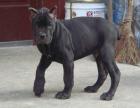 卡斯罗凶嘛 卡斯罗是护卫犬吗 卡斯罗大概多少钱