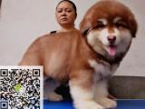 哪里有卖纯种阿拉斯加雪橇犬 疫苗驱虫按时做好可签协议