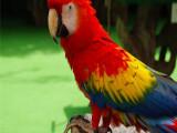 石景山金剛鸚鵡繁殖