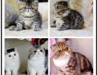 优质猫舍出售精品纯种加菲猫全国可以发货送货可送
