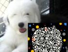 白头黑背 体态完美 血统高贵 健康可爱 古代牧羊犬