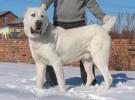 中亚幼犬 纯血统中亚 价格亲民 自己犬舍养殖 放心喂养