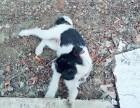 收养小狗狗 全身黑白相间