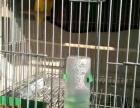 黄桃鹦鹉出售