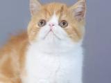 上海普陀純白加菲貓出售
