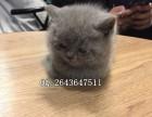 重庆纯种蓝猫卖多少钱一只 蓝猫价格